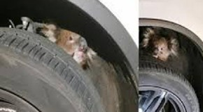 Koala survives 10 mile ride clinging to four wheel drive axle