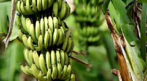 Bananas being threatened by number of diseases